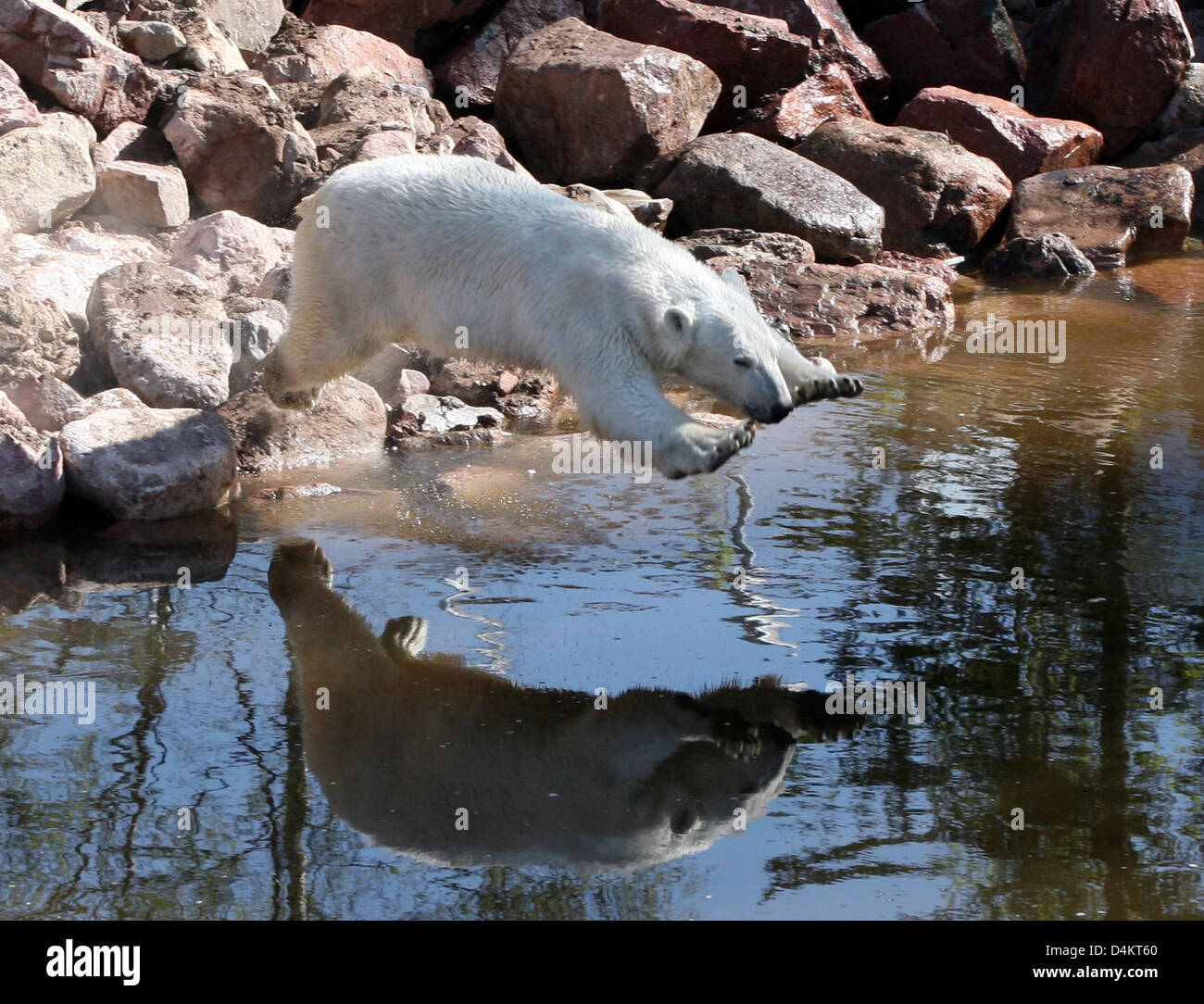 A handout released by Polar World wilflife park sees polar bear ?Wilbaer? jumping into the water in Orsa, Sweden, - Stock Image