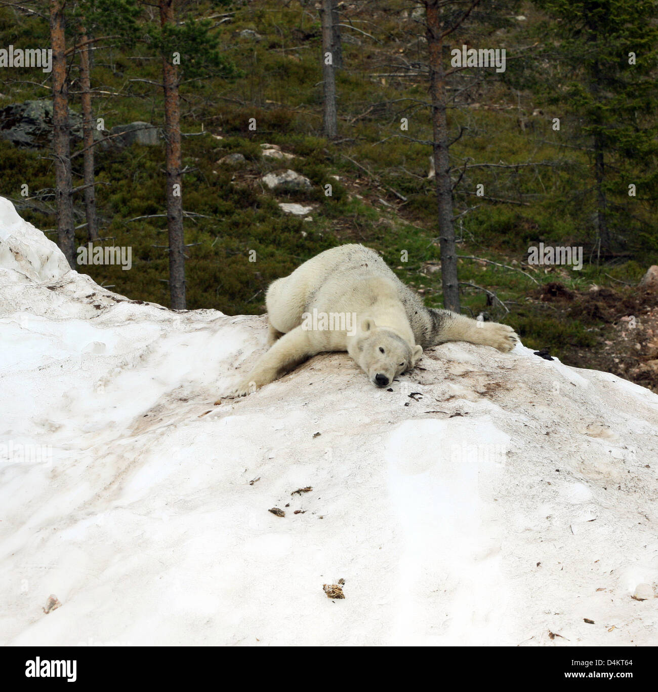 A handout released by Polar World wilflife park sees polar bear ?Wilbaer? frolicking in Orsa, Sweden, middle of - Stock Image