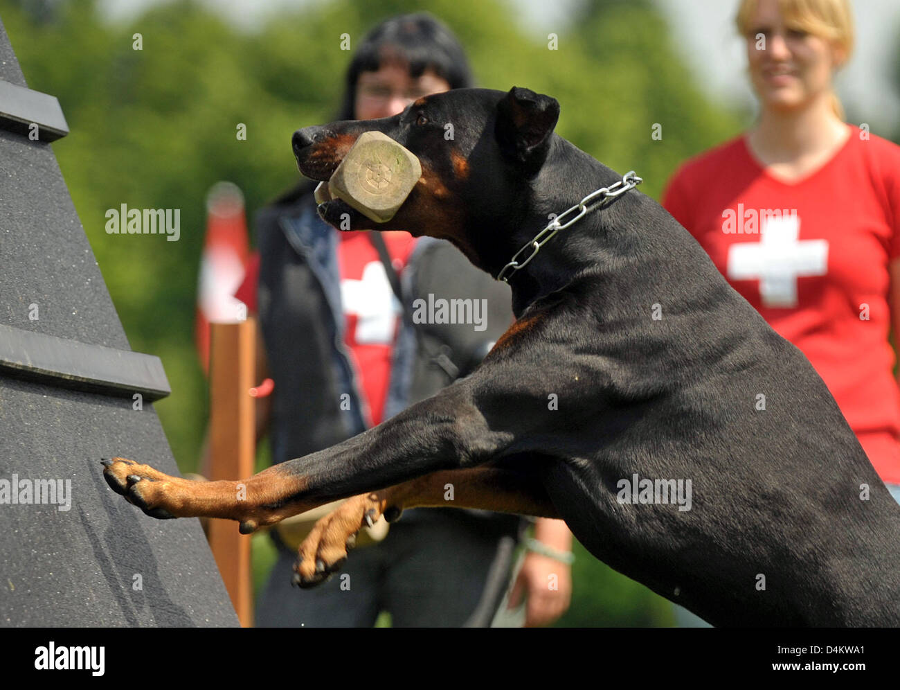A dobermann of the Swiss national team jumps over an obstacle during the training for the Dobermann World Championships - Stock Image