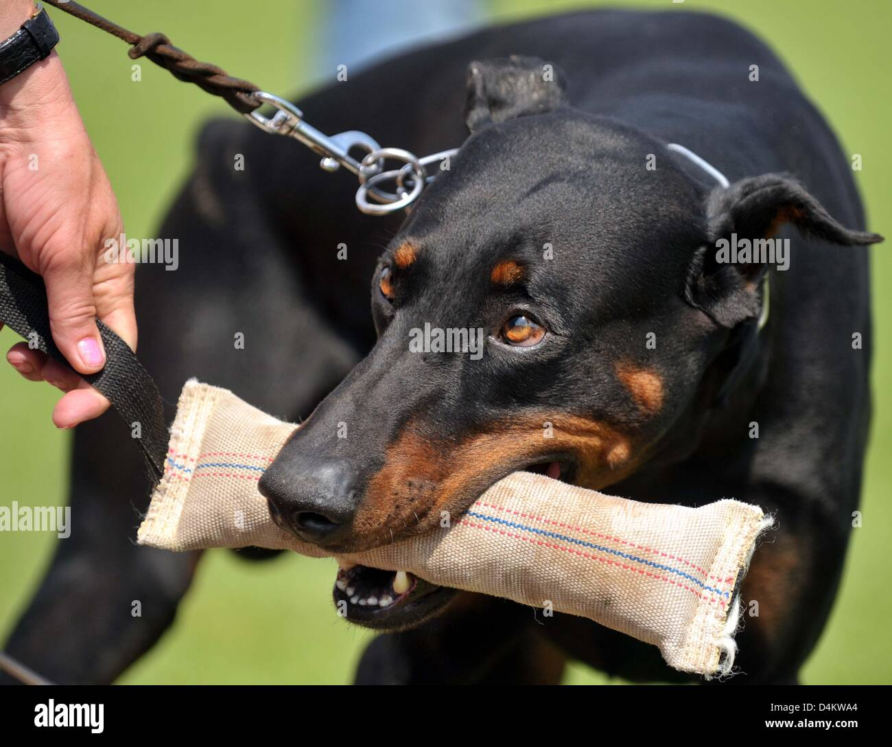 A dobermann is pictured during the training for the Dobermann World Championships in Apolda, Germany, 22 May 2009. - Stock Image