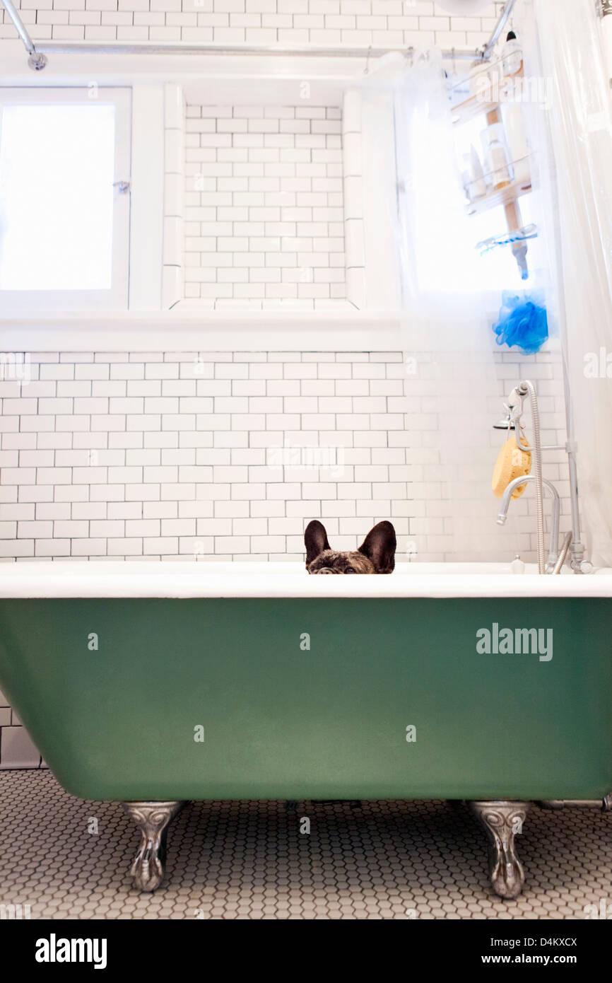 French bulldog sitting in bathtub Stock Photo