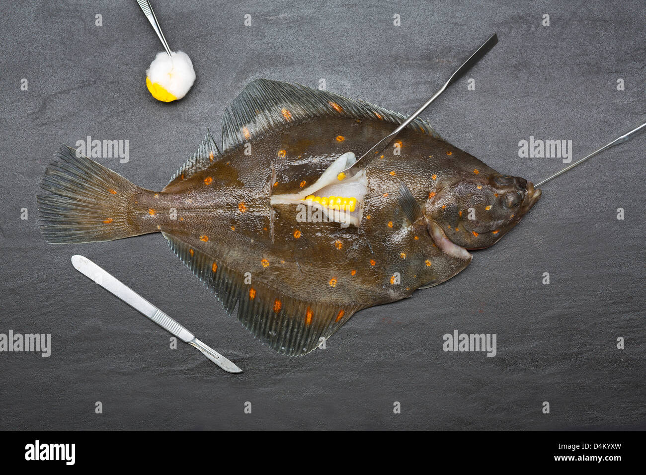 Fresh fish surgically stuffed with corn - Stock Image