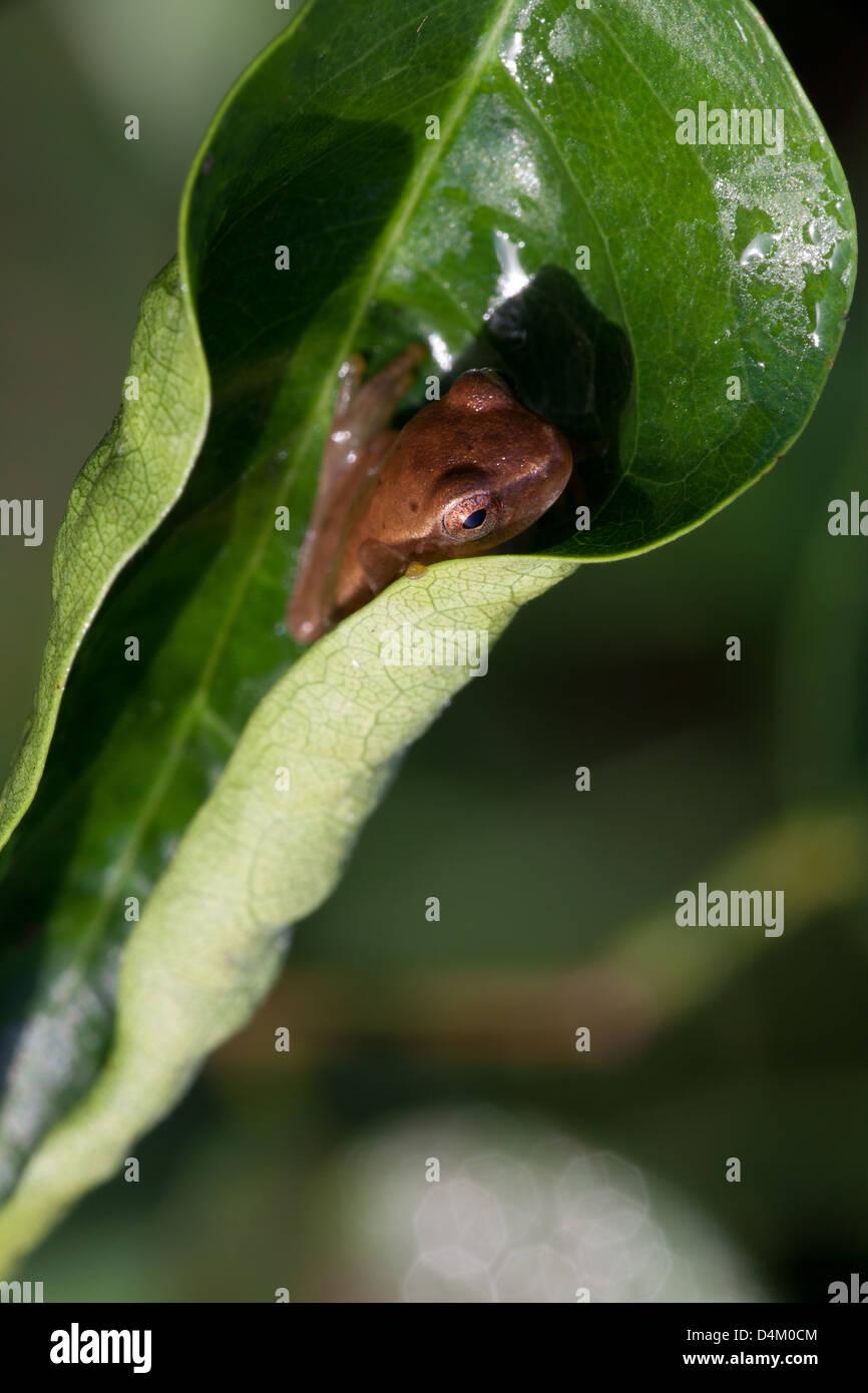 Frog on leaf in Cienaga las Macanas nature reserve, Herrera province, Republic of Panama. Stock Photo