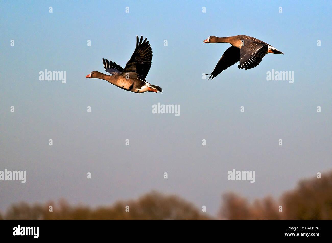 Flying Greater White Fronted Geese at the lower Rhine. Blässgänse im Flug am Niederrhein. - Stock Image