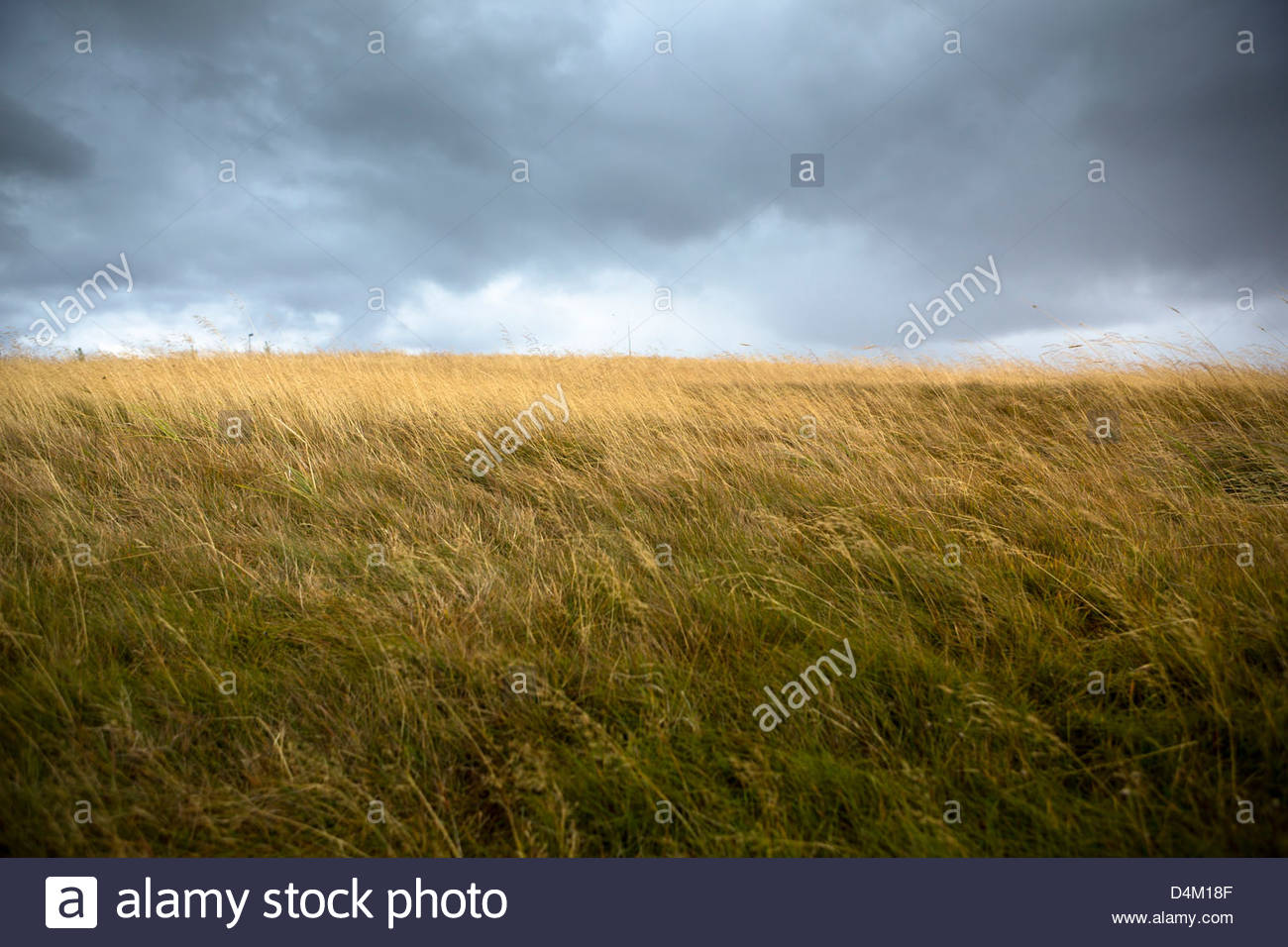 tall grass field yellow field of tall grass blowing in wind stock photo 54529791 alamy