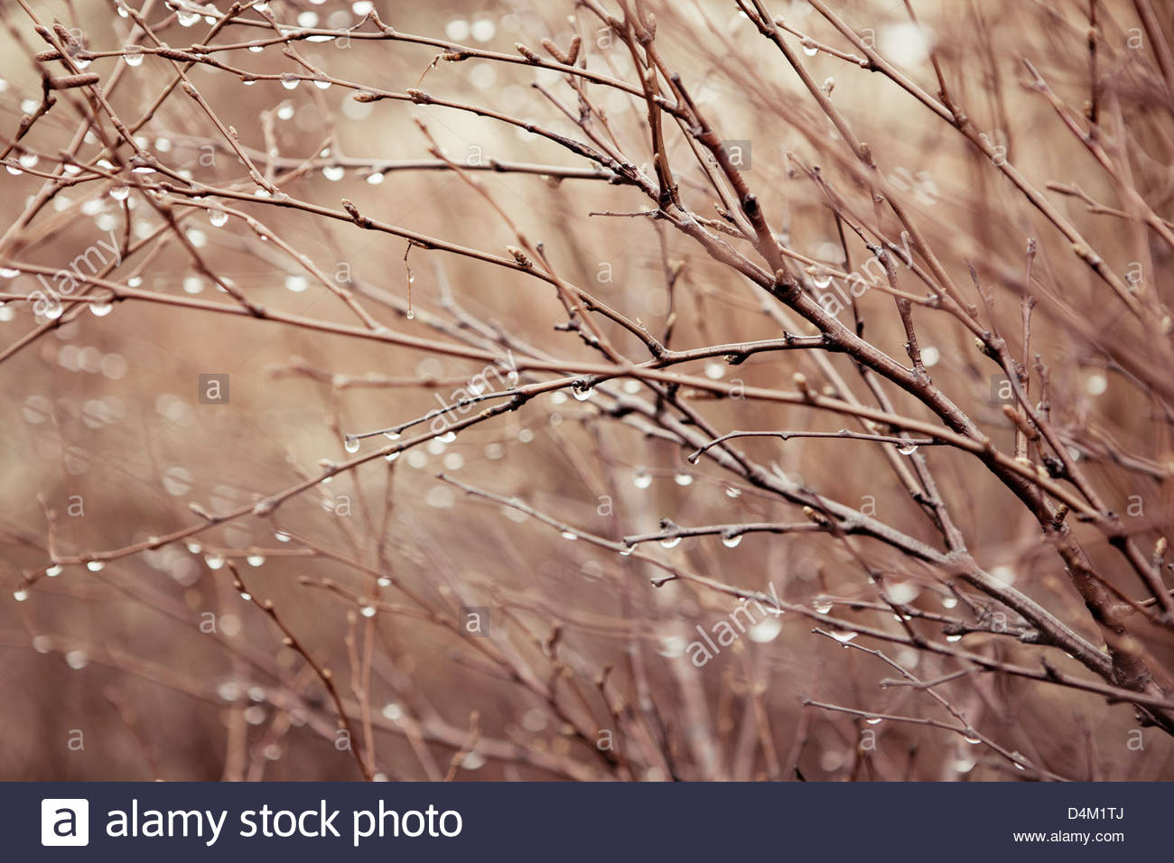 Water droplets on bare branches - Stock Image