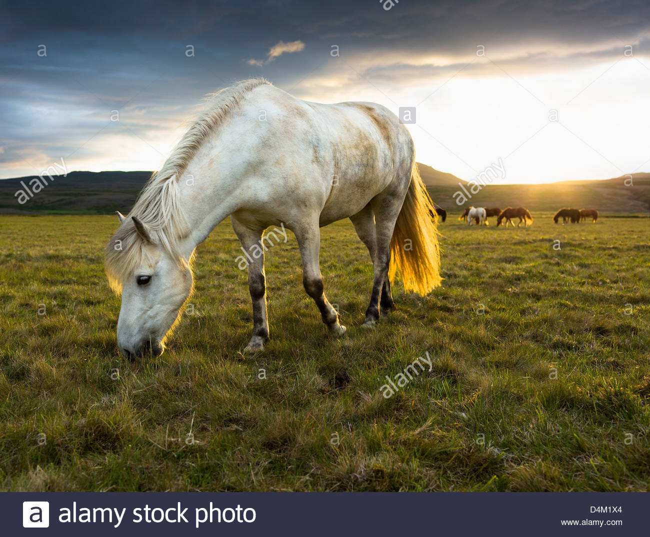 Horse grazing in rural field - Stock Image
