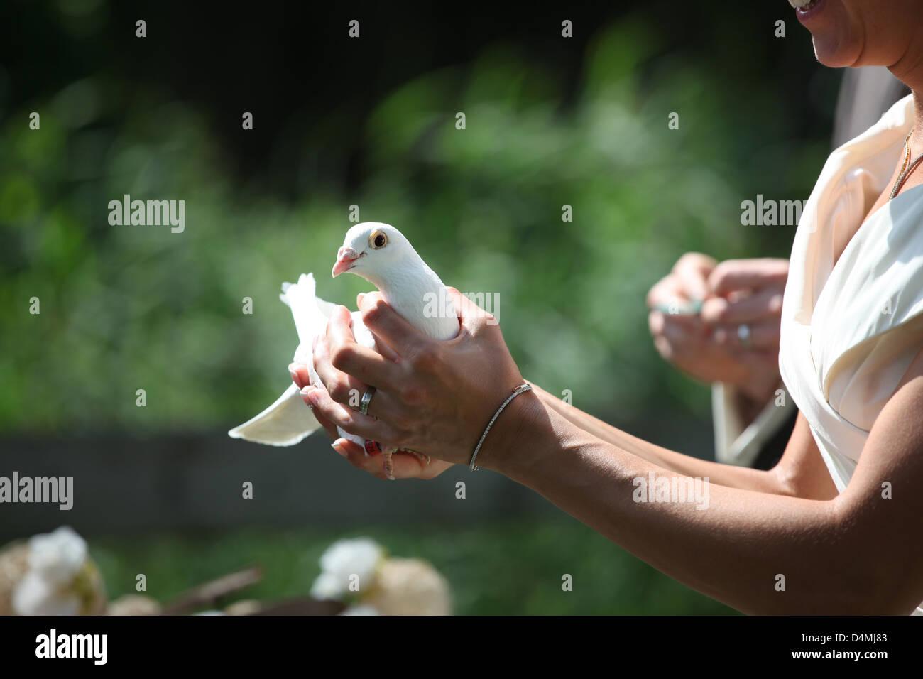 white wedding dove - Stock Image