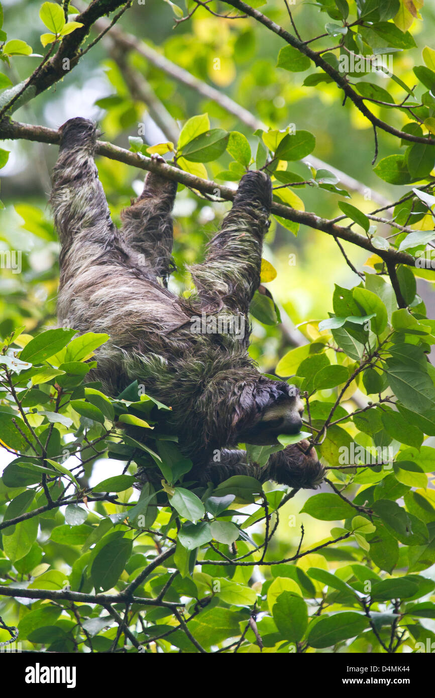 Sloth eating in Puerto Viejo, Costa Rica Stock Photo