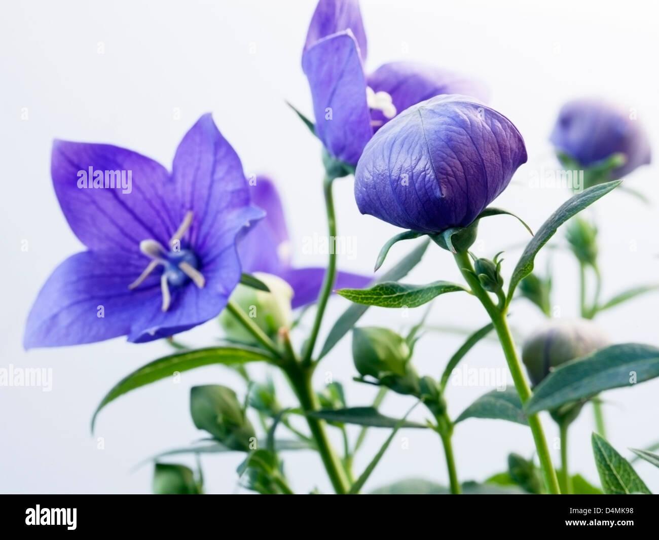 Blue Balloon Flower Platycodon Grandiflora Stock Photos Blue