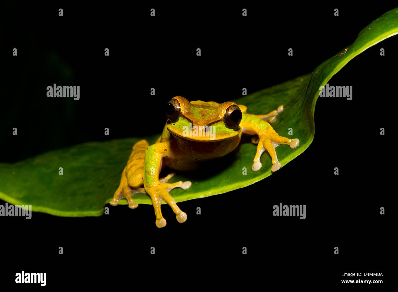 Spotted brown frog on a leaf with black background Stock Photo