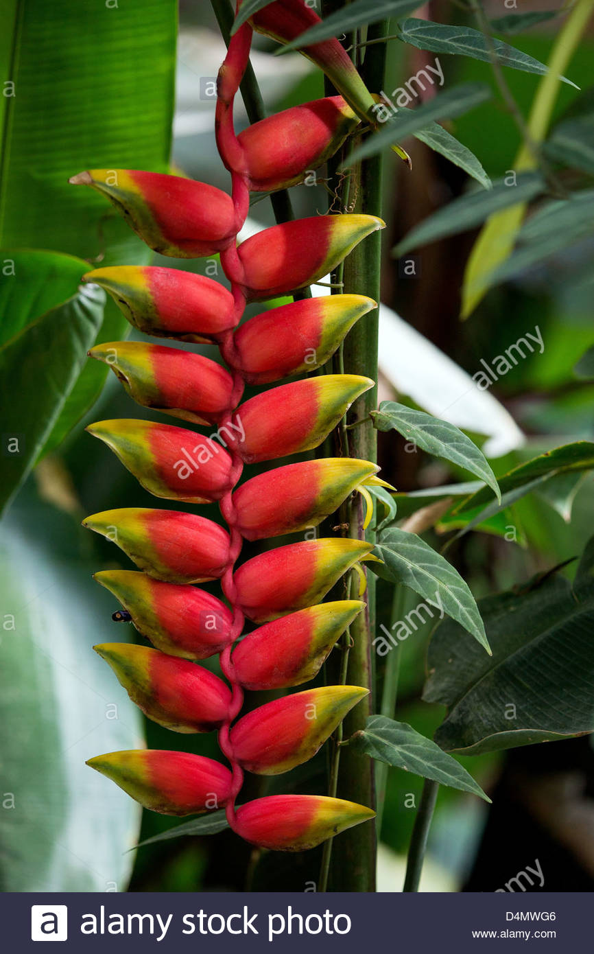 Heliconia rostrata known as Lobster claw or False-bird-of-paradise - Stock Image
