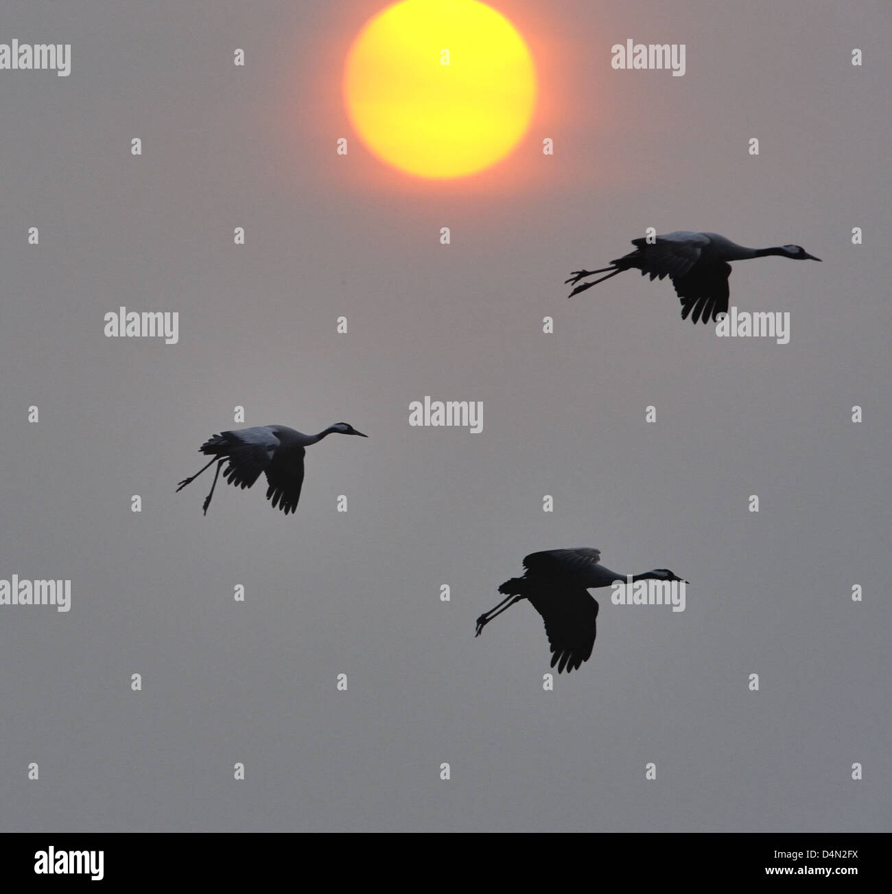 Cranes (Grus grus) flying in front of the rising sun by Hornborgasjön Stock Photo