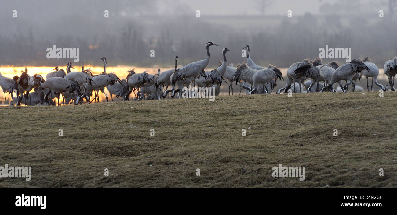 Cranes (Grus grus) feeding at dawn in the early sunlight Stock Photo