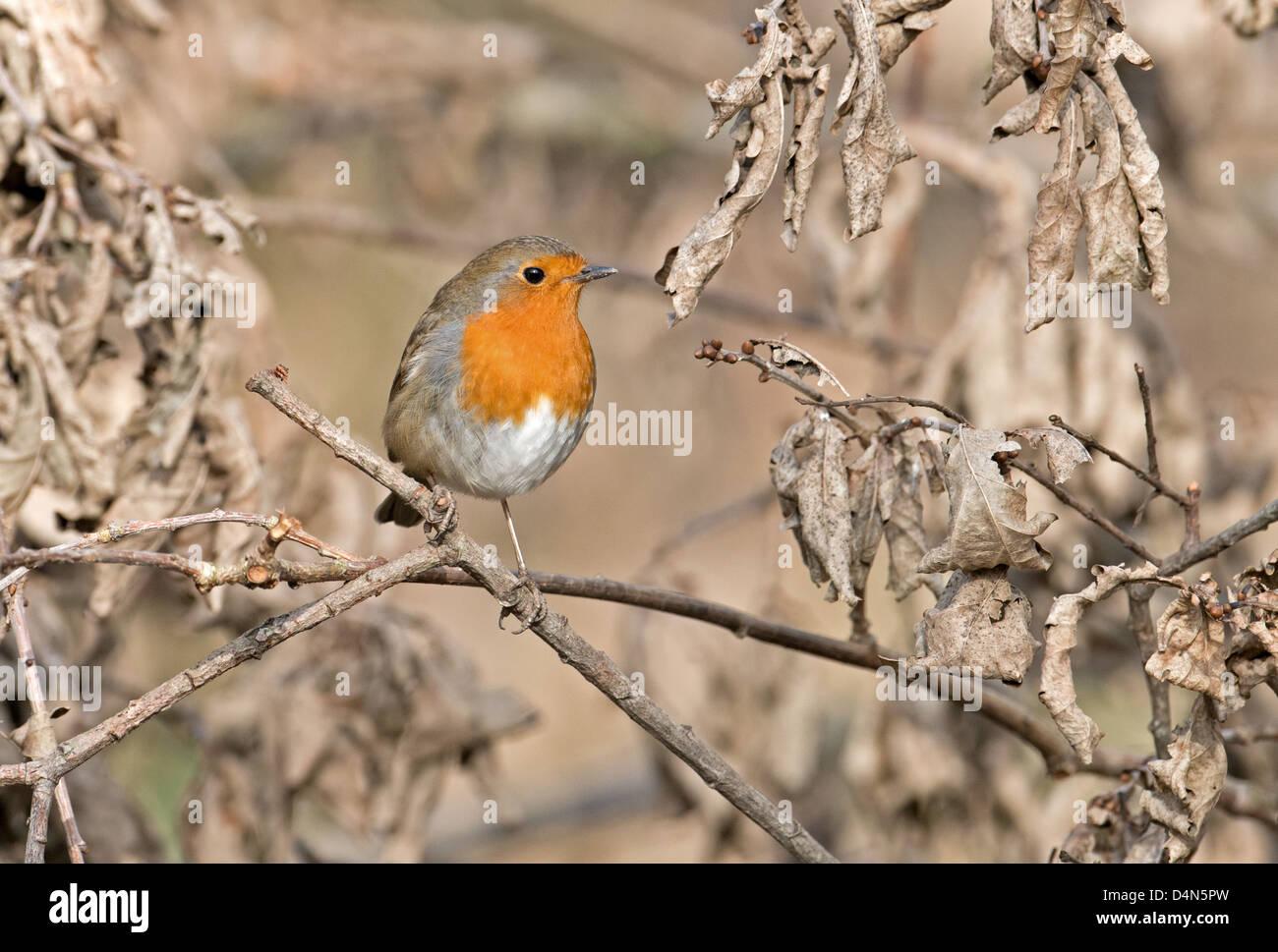Robin,Erithacus rubecula.Winter. UK - Stock Image