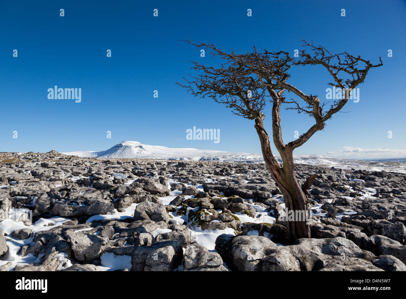Hawthorn tree growing out the limestone pavement with the mountain of Ingleborough in the Yorkshire Dales, UK - Stock Image