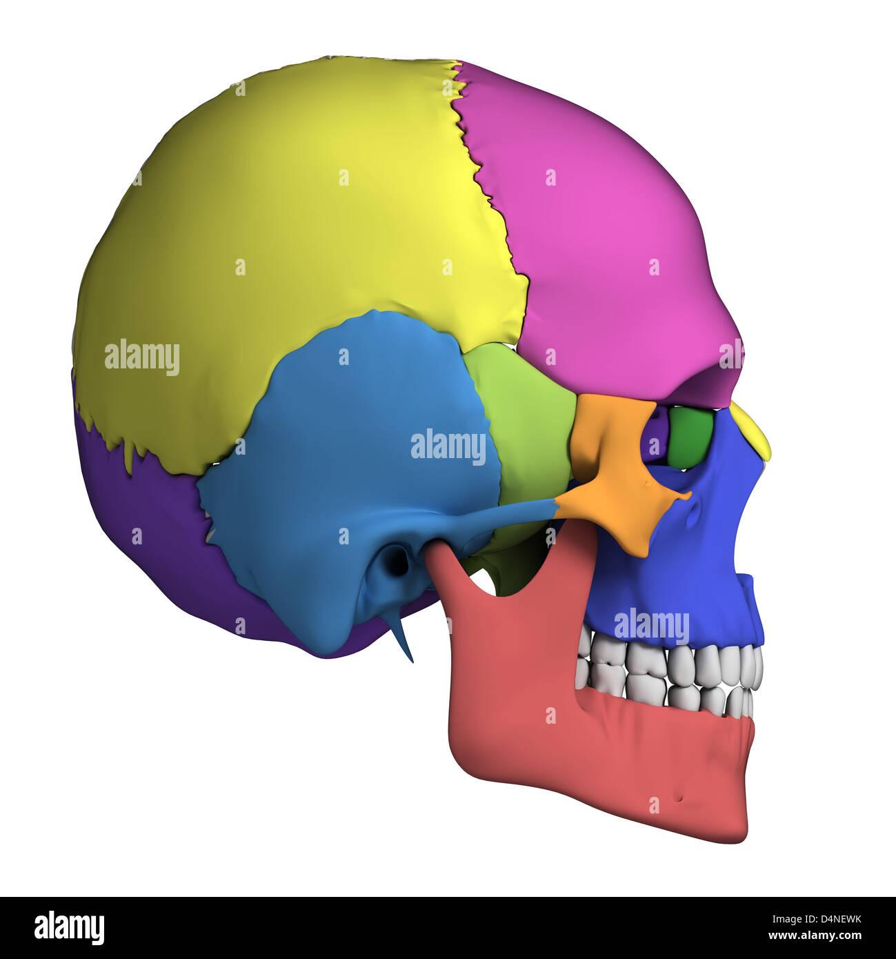 Human Skull Anatomy Stock Photo 54562415 Alamy