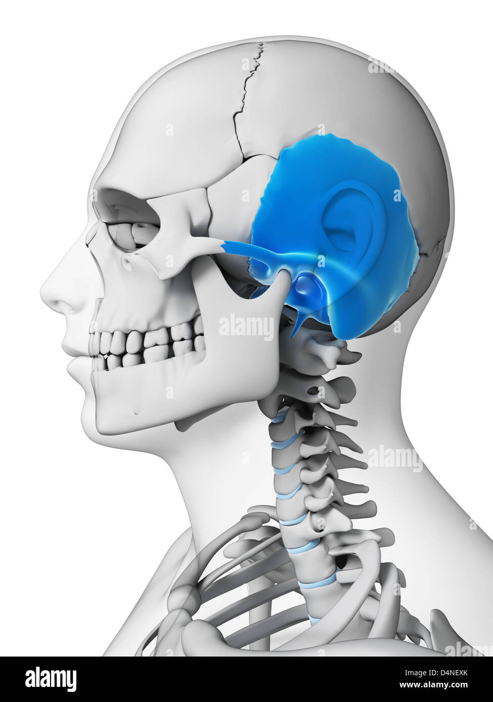 Male Temporal Bone Skull Anatomy Stock Photos & Male Temporal Bone ...