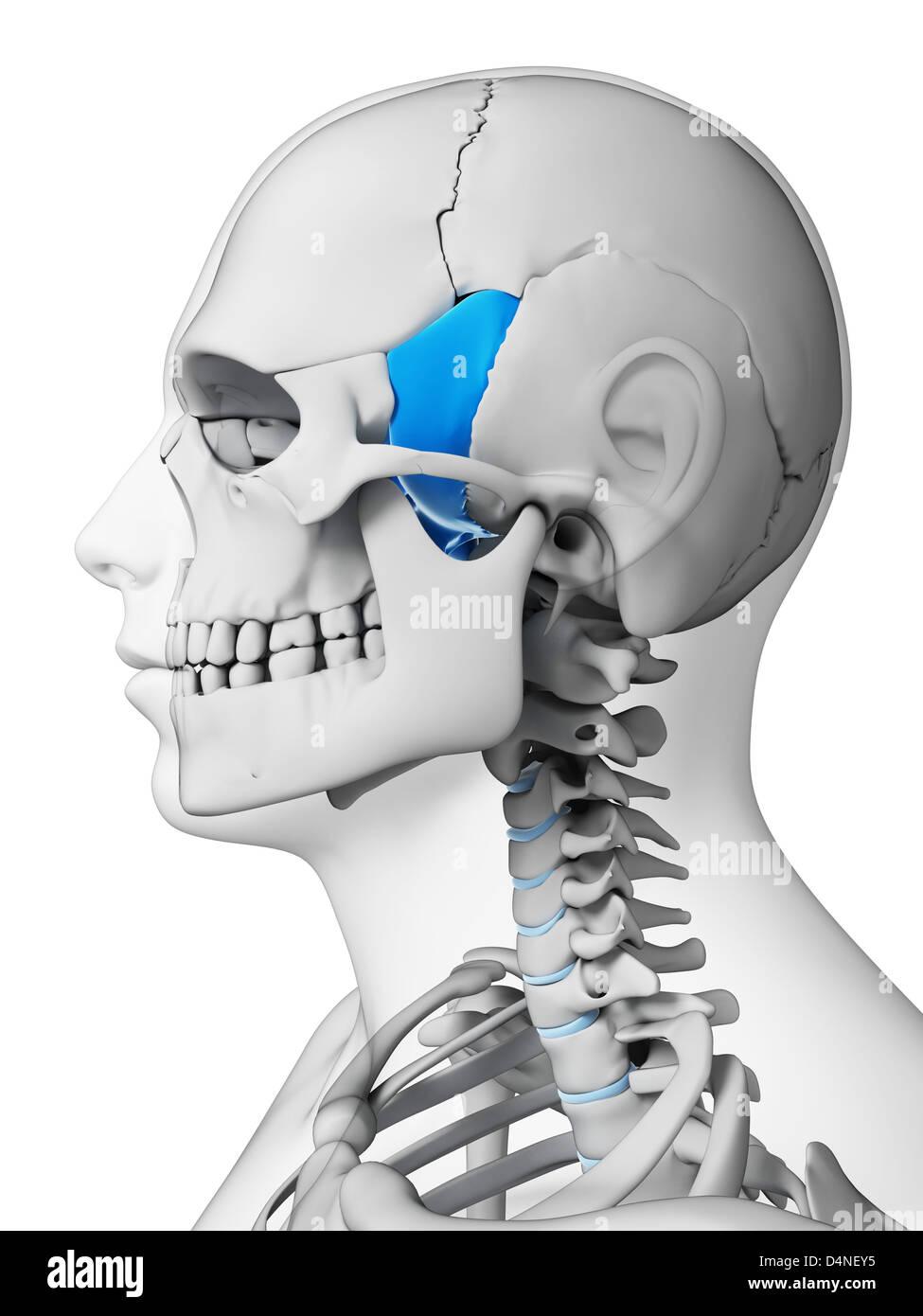Sphenoid Bone Stock Photos Sphenoid Bone Stock Images Alamy
