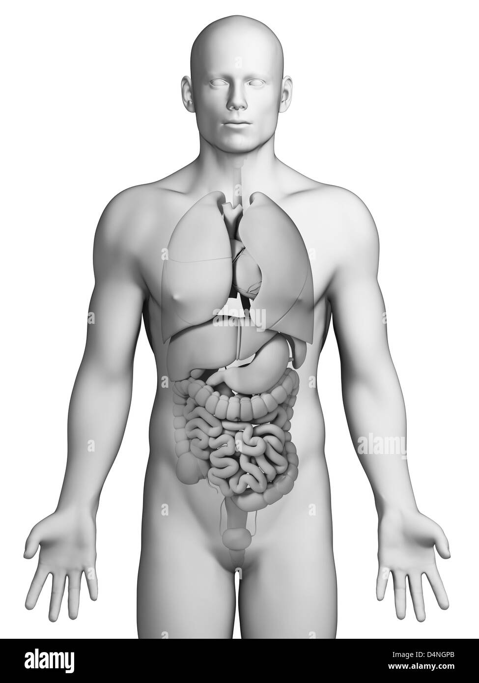 Male Anatomy Black and White Stock Photos & Images - Alamy