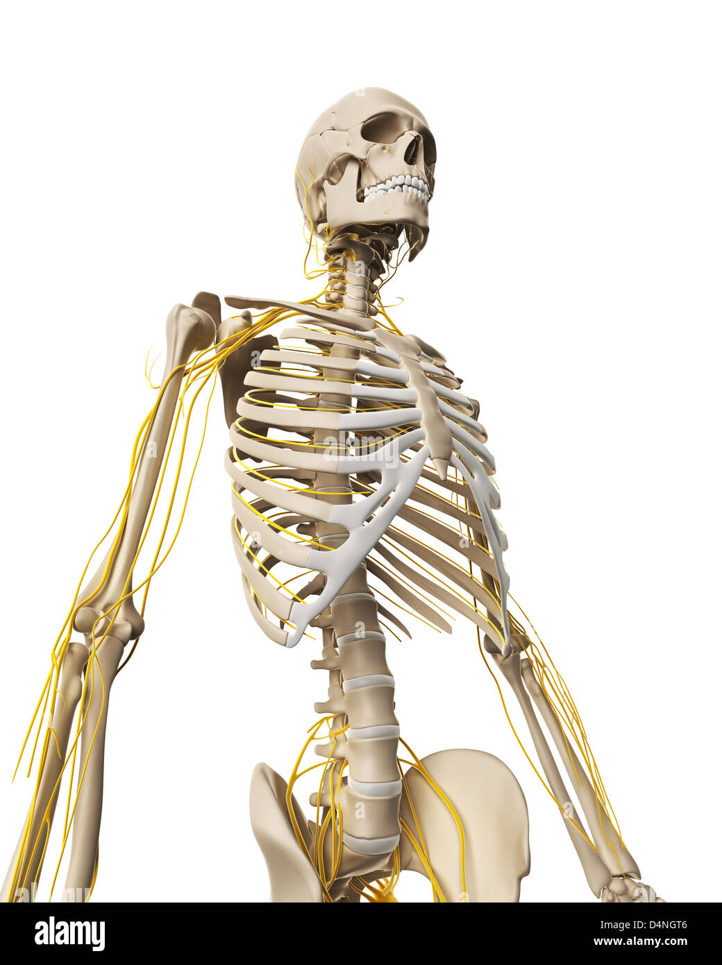 Male nerve system - Stock Image