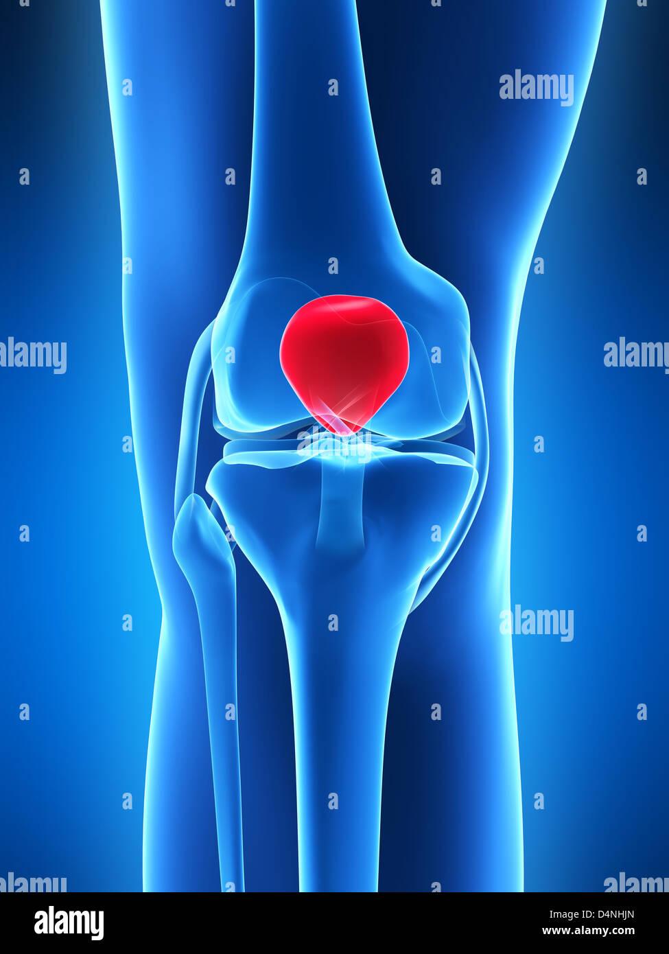 Human Shin Bone And Ligament Stock Photos & Human Shin Bone And ...