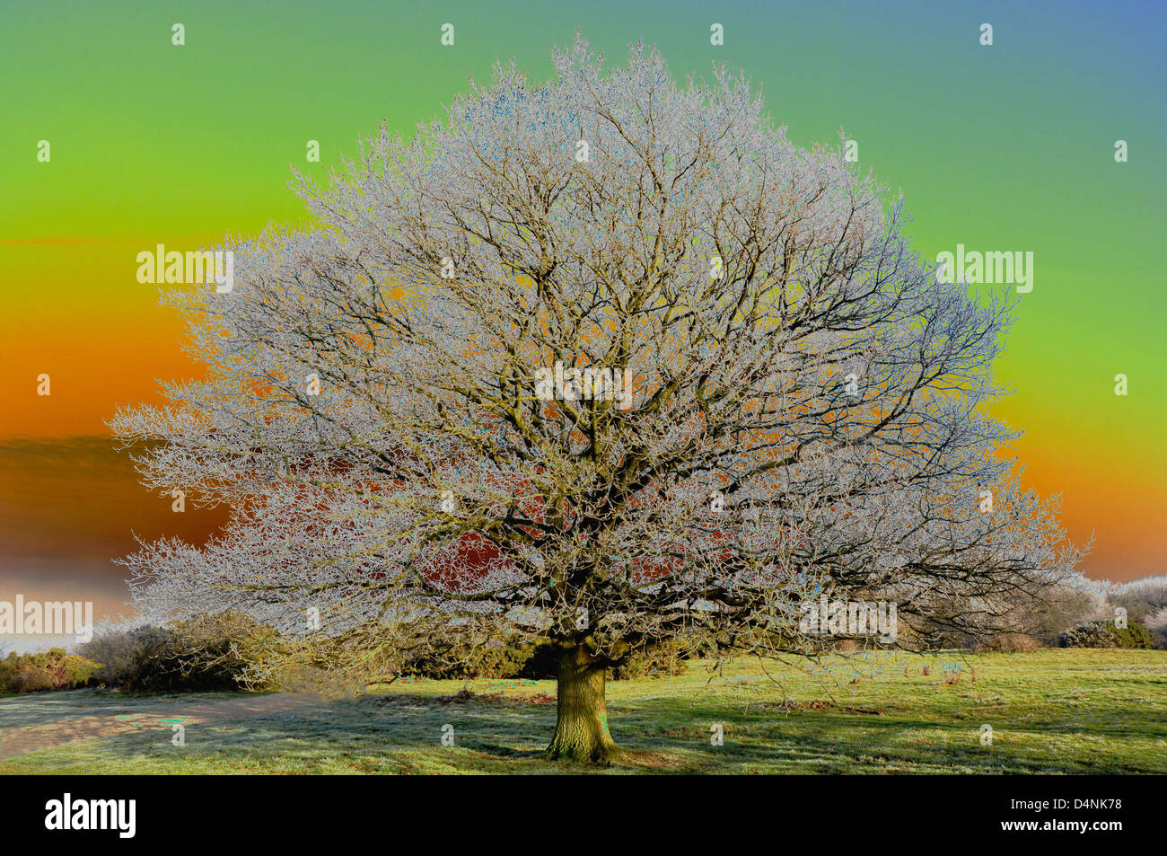 Winter - a frosted oak tree - computer enhanced study - merging pastel shades -  white frost on dark tree branches - Stock Image