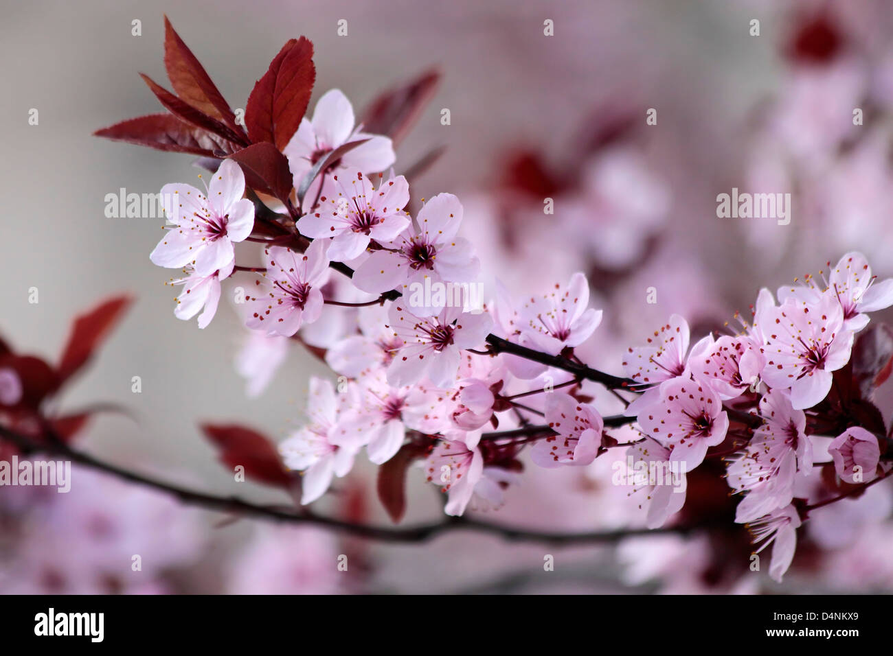 Japanese cherry blossoms in the park - Stock Image