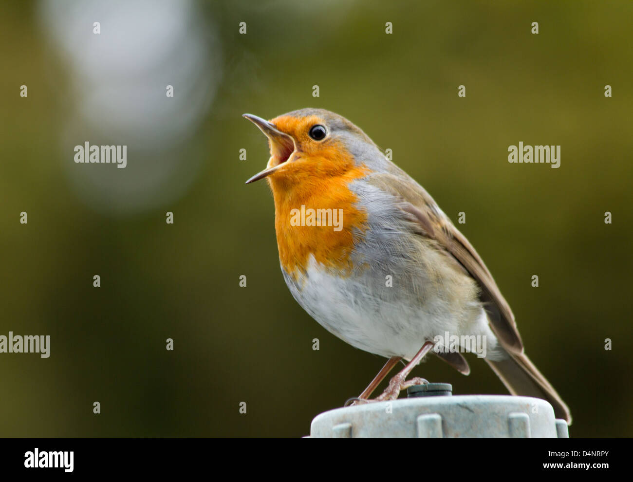 Robin Redbreast singing loudly - Stock Image