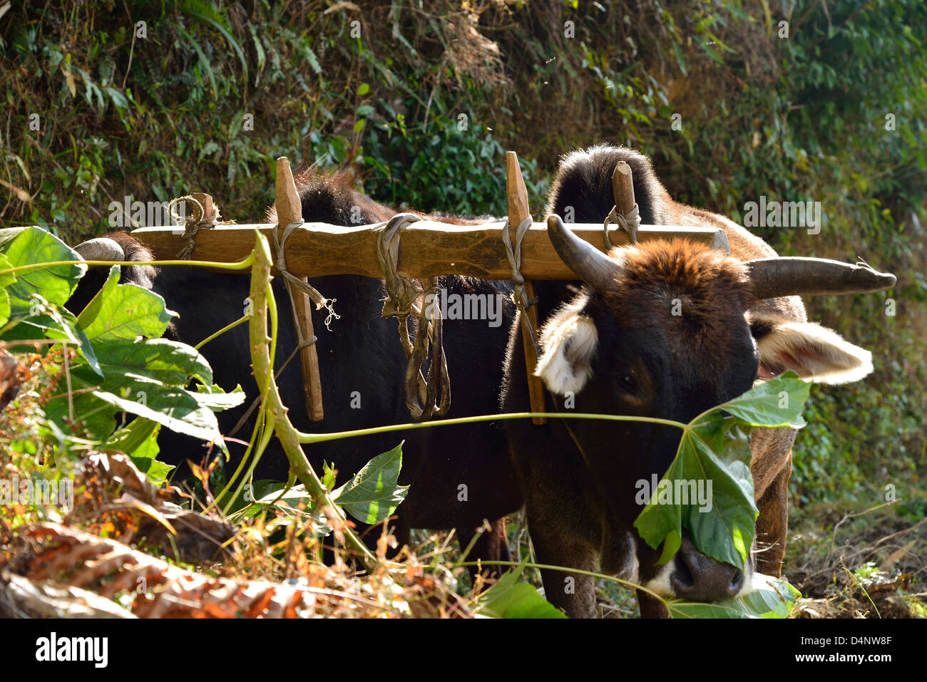 Hand made, traditional Nepalese style yoke, worn by the Oxen for ploughing. - Stock Image