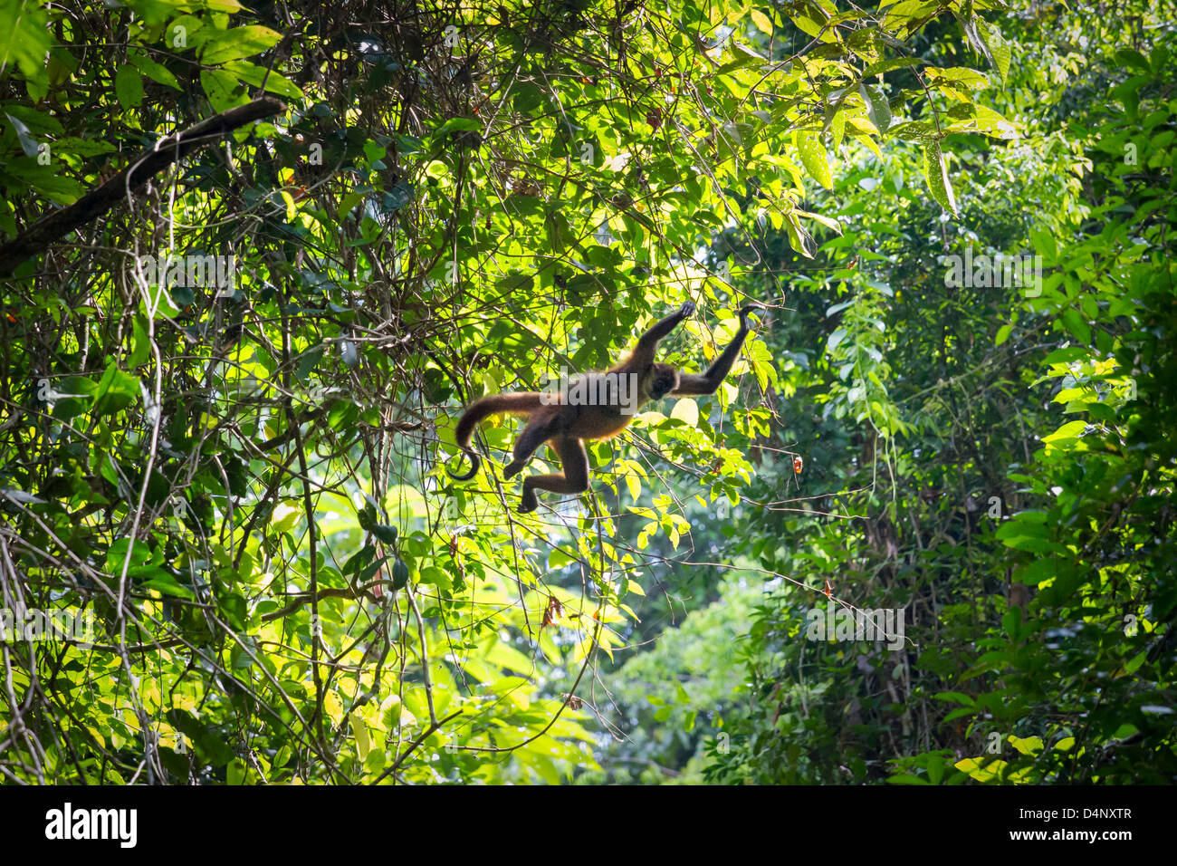 Spider monkey mother and child leaping together between trees in primary rainforest in Corcovado on Osa peninsula Stock Photo