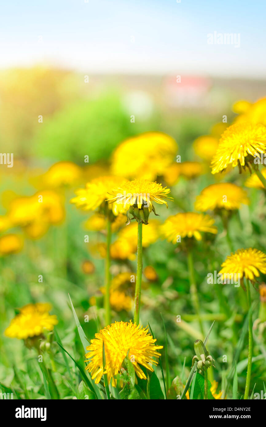 spring country landscape with dandelion close up - Stock Image
