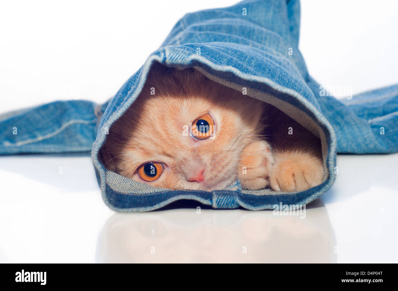 the red kitty is in one trouser-leg of blue jeans on a white background - Stock Image