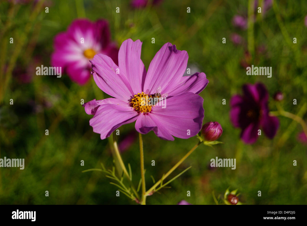 Gadfly Insect Fly Sucking Honey From Violet Marigold Flowers Stock