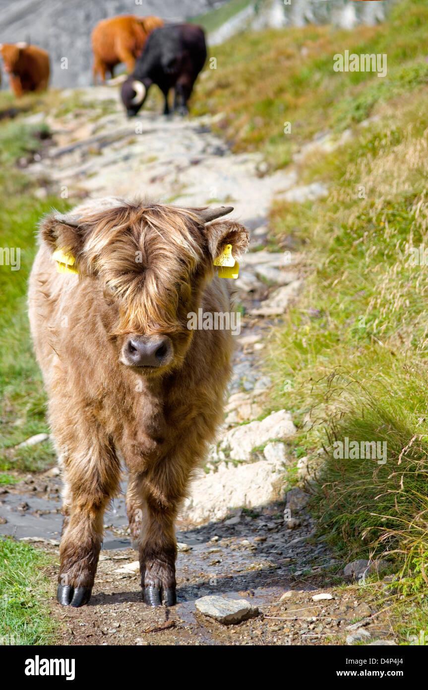 Young Scottish Highland Cattle, Grisons, Switzerland | Junge Schottische Highland Kuh im Fruehling, Graubuenden - Stock Image