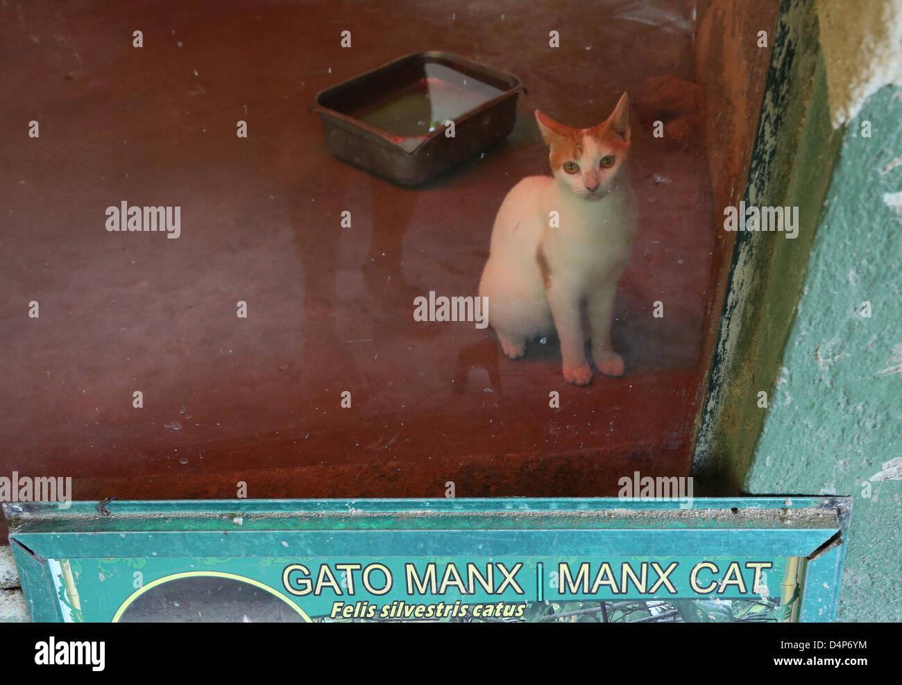 A Manx cat at the Zoologico de Vallarta. - Stock Image