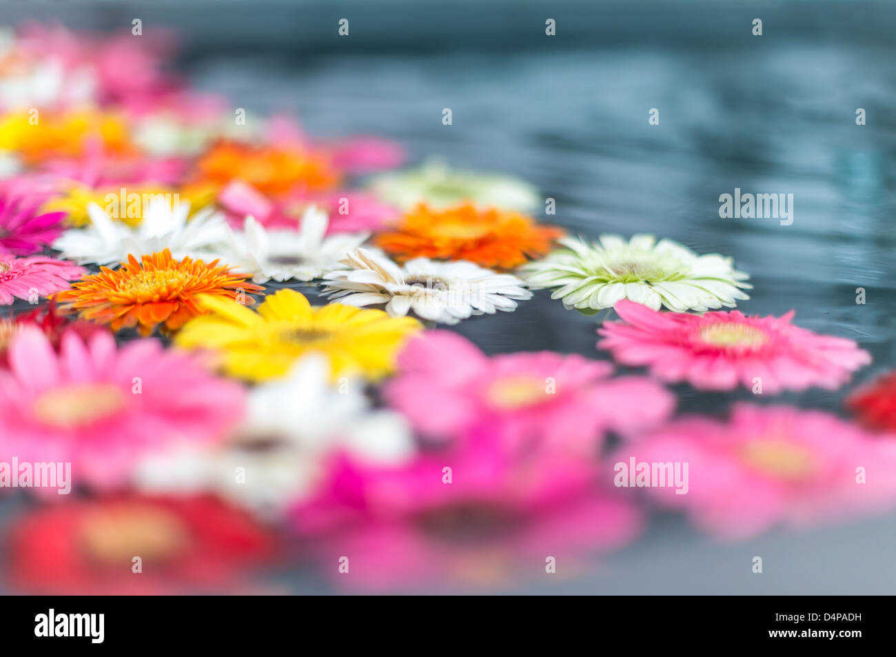 Beautiful fragile flowers of different bright colors floating in water. Floral and natural backgrounds. Mix of bright - Stock Image
