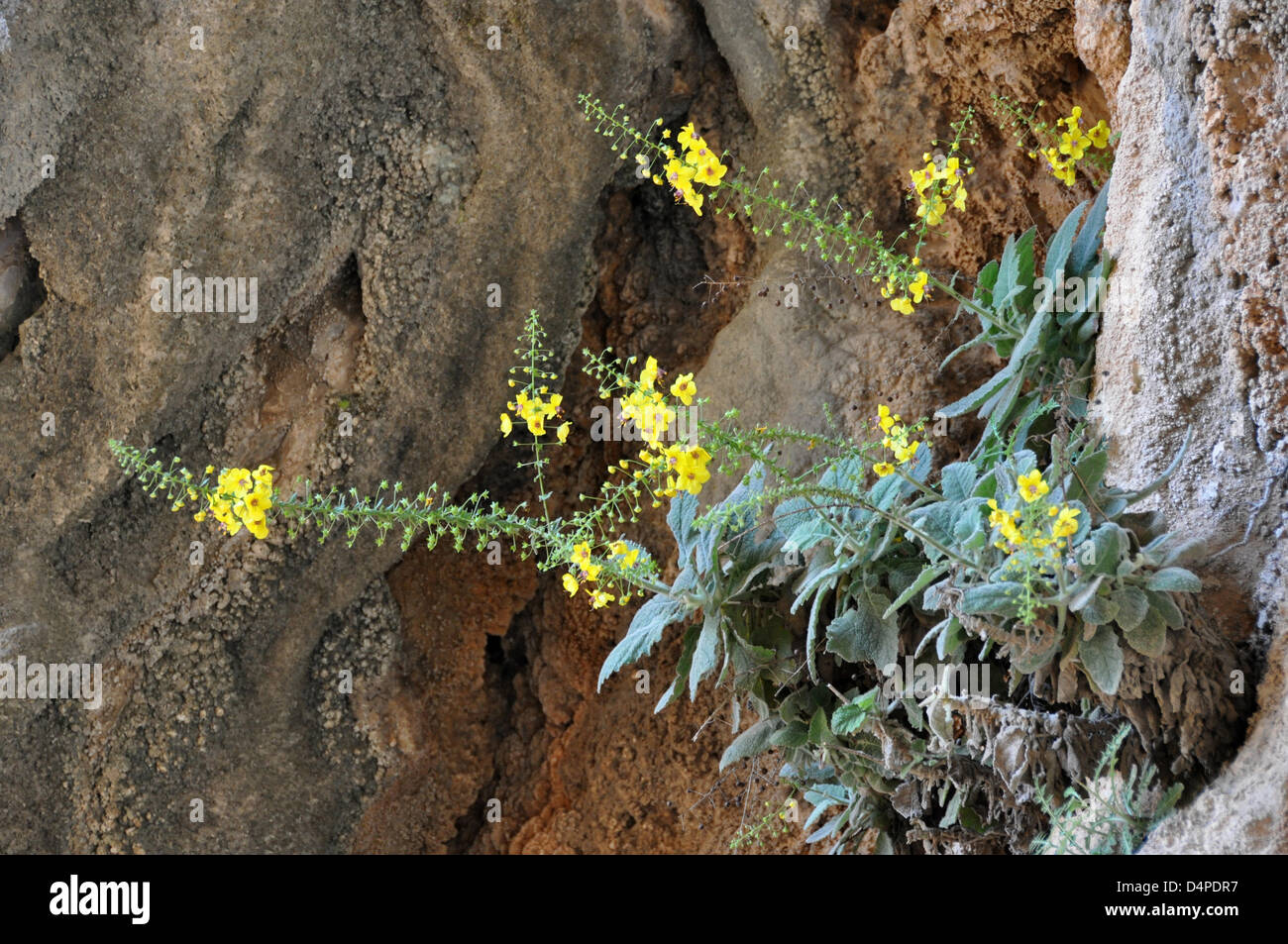 Flowers seem to grow from a bare rock in a canyon in Imbros, Greece, 07 May 2009. Surprisingly, they do not grow - Stock Image