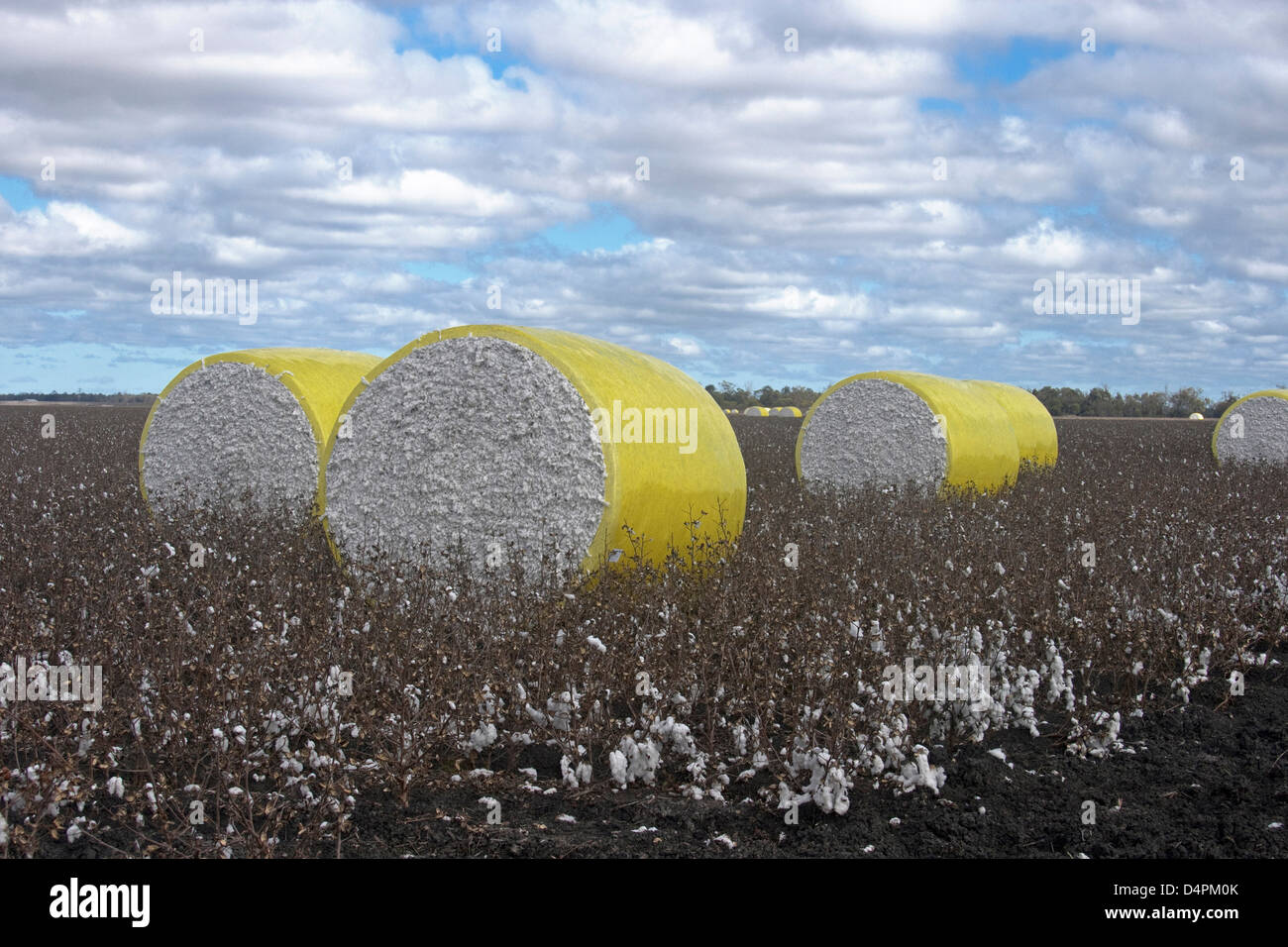 Round bales of harvested cotton wrapped in bright yellow plastic among remains of cotton crop on farm field near - Stock Image