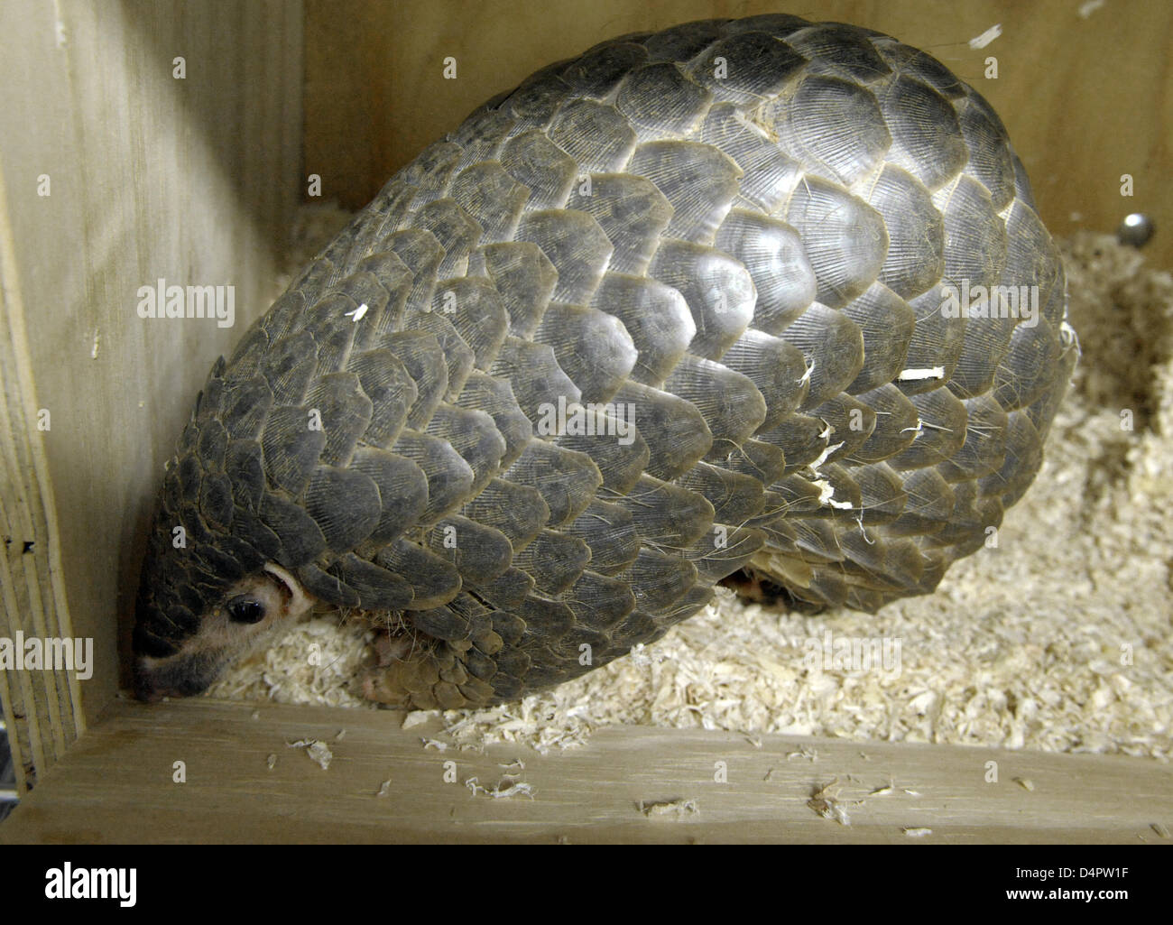 Quesan, the only living female pangolin in Europe, in her quarantine box at Leipzig?s zoo, Germany, 03 September - Stock Image