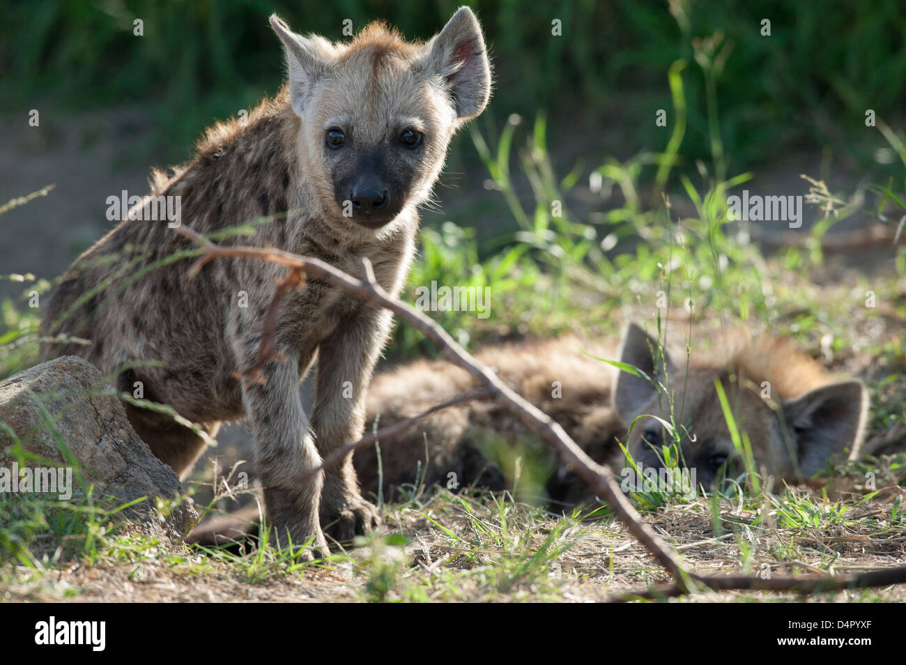 Two young Spotted hyena Crocuta crocuta one laying down resting the other standing about to embark on an adventure - Stock Image