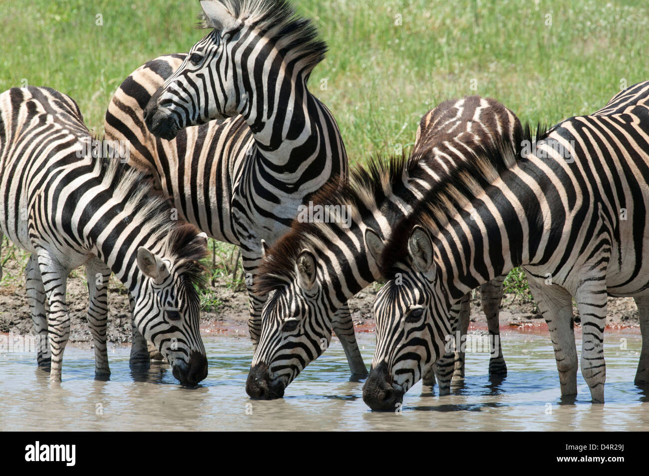 Burchell's Zebra - Equus burchellii or common  plains zebra Equus quagga.  Group of four at the water hole - Stock Image