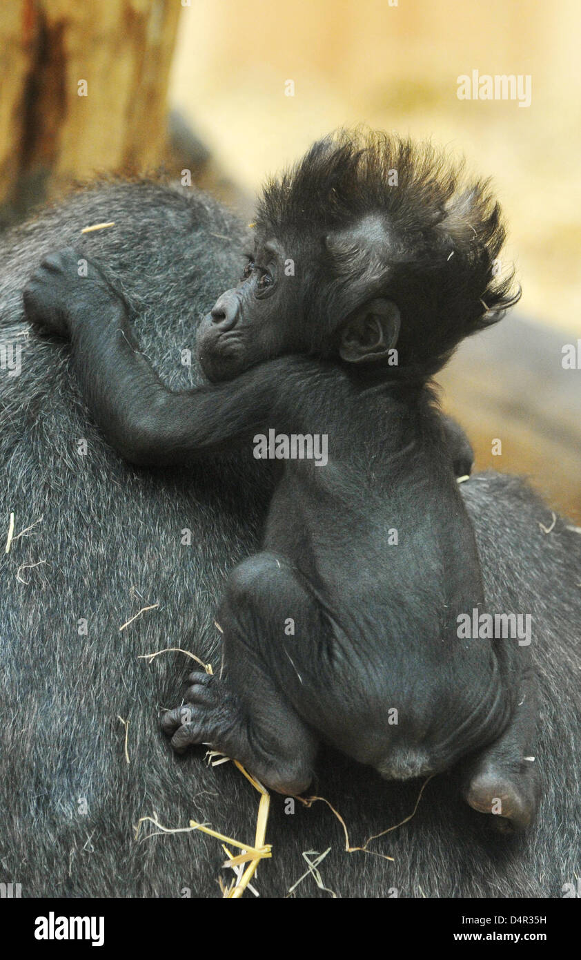 Gorilla baby Claudia explores the enclosure on the back of its mother at the zoo of Muenster, Germany, 21 September - Stock Image
