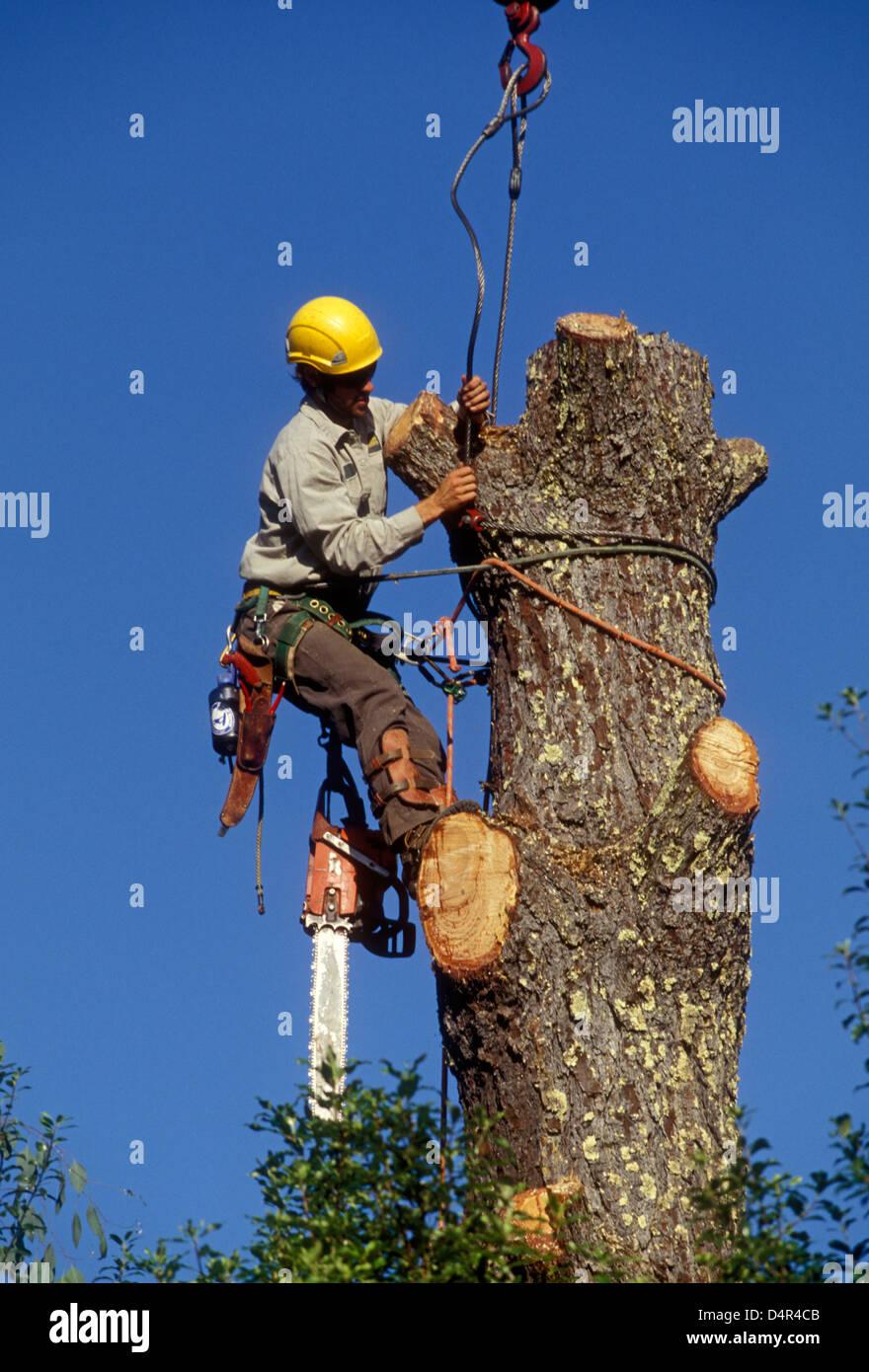 tree felling, tree feller, tree cutter, tree removal, adult man, lumberman, lumberjack, Novato, Marin County, California - Stock Image