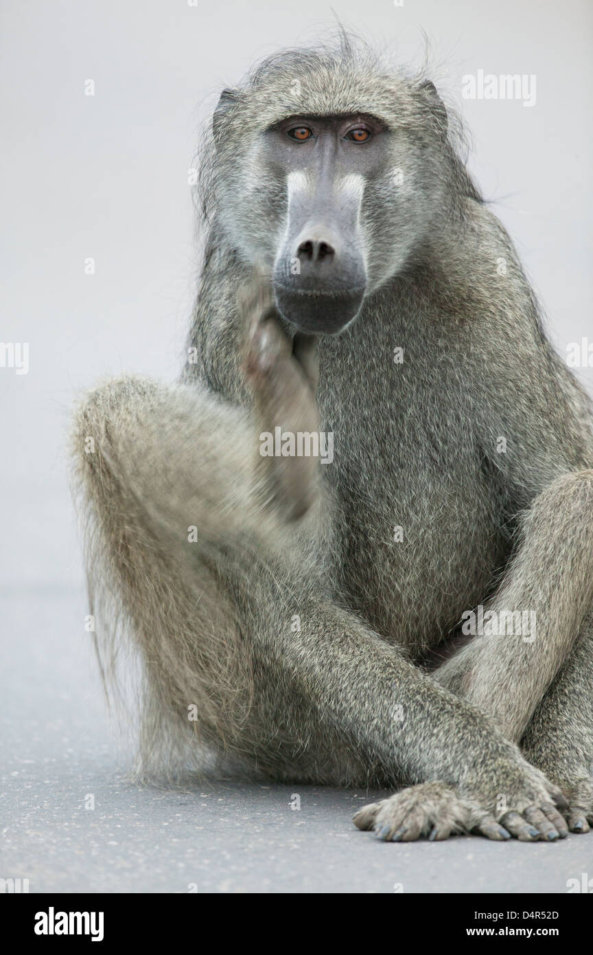 Chacma baboon or Cape baboon Papio ursinus  Sitting crossed legged scratching his chin as if deep in thought - Stock Image