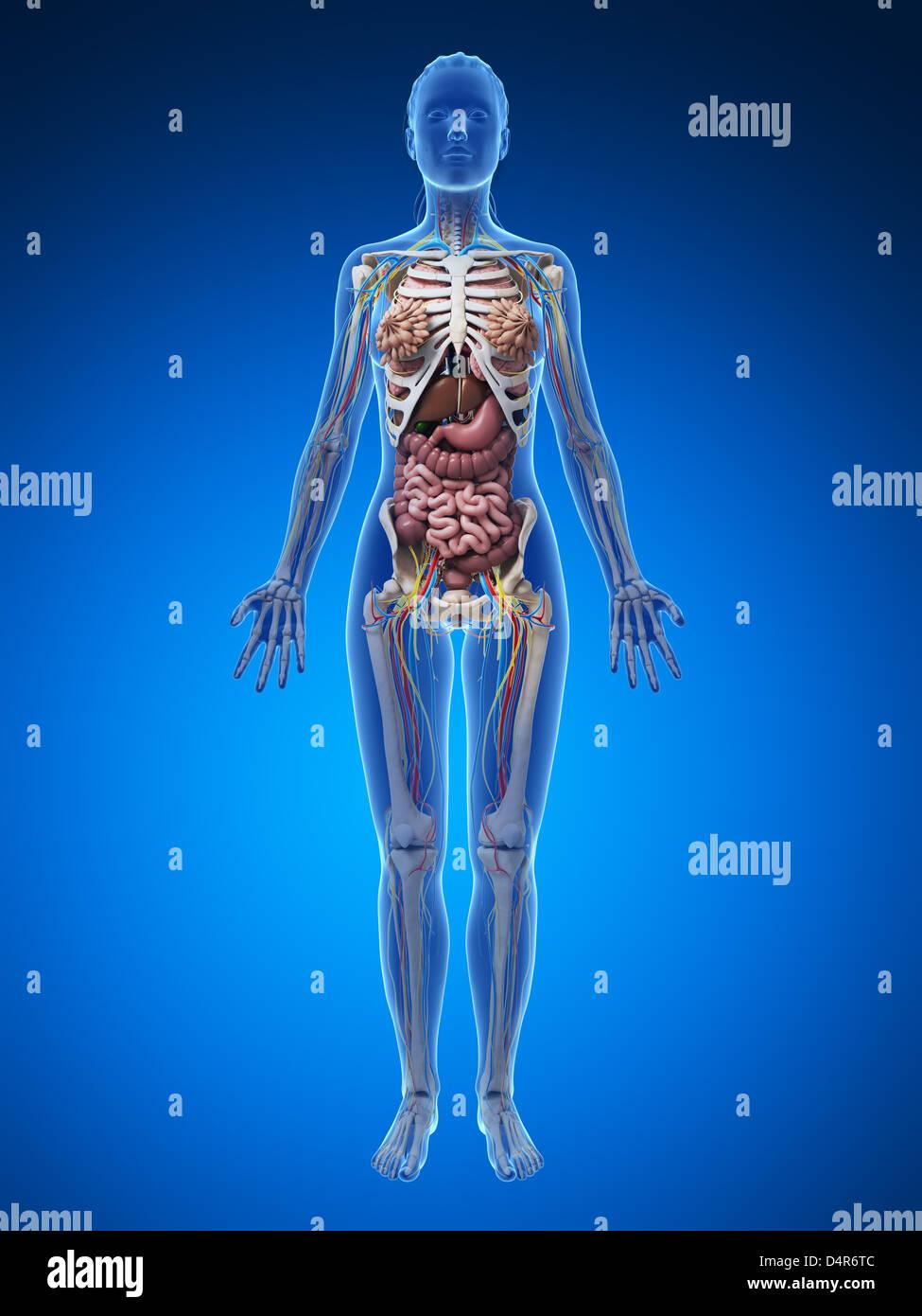 Female Anatomy Diagram High Resolution Stock Photography