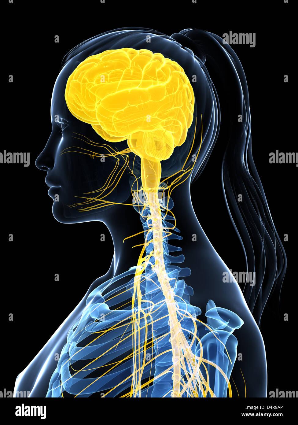 Nervous system diagram stock photos nervous system diagram stock female nervous system stock image ccuart Images