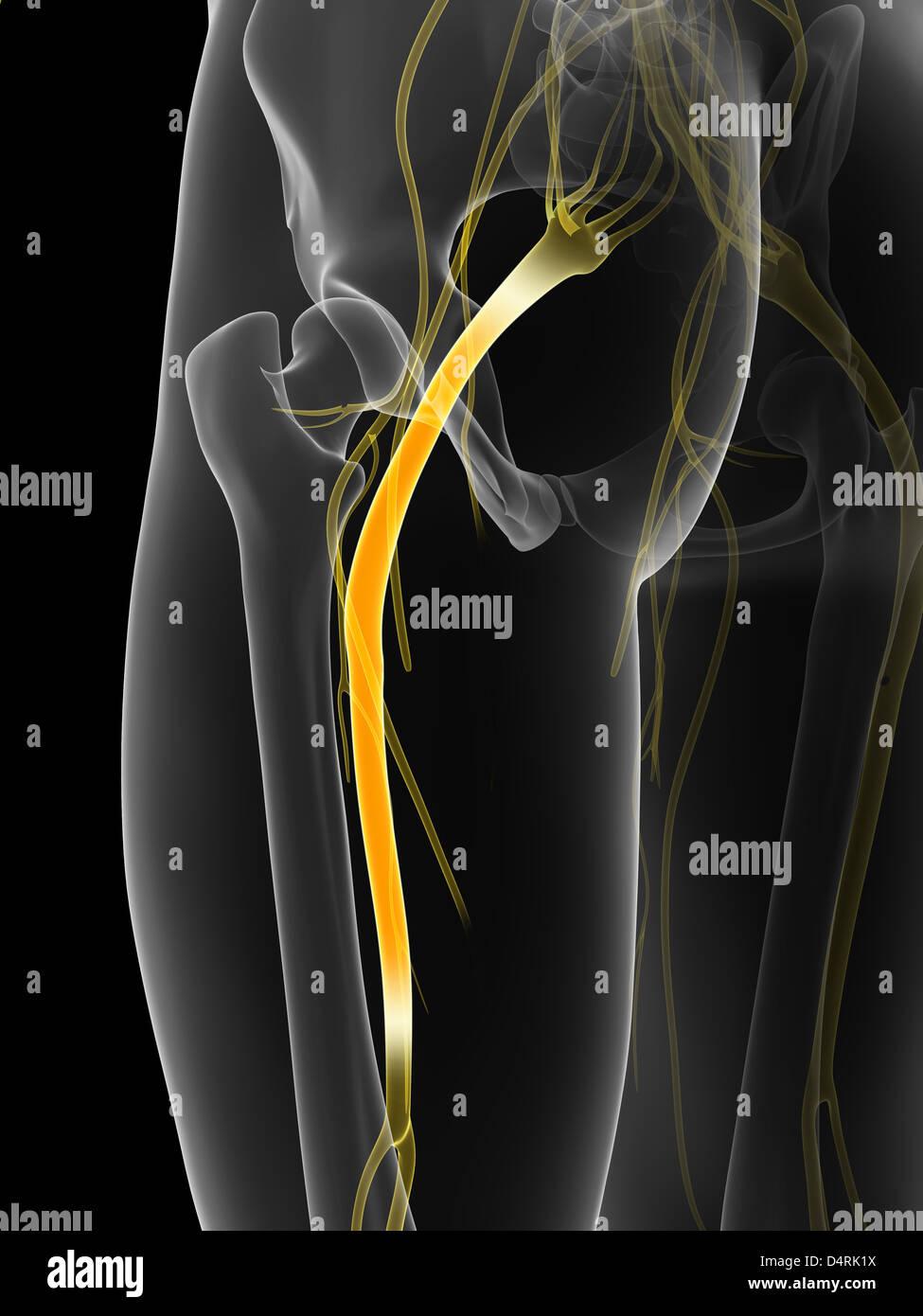 Sciatic Nerve Stock Photos & Sciatic Nerve Stock Images - Alamy