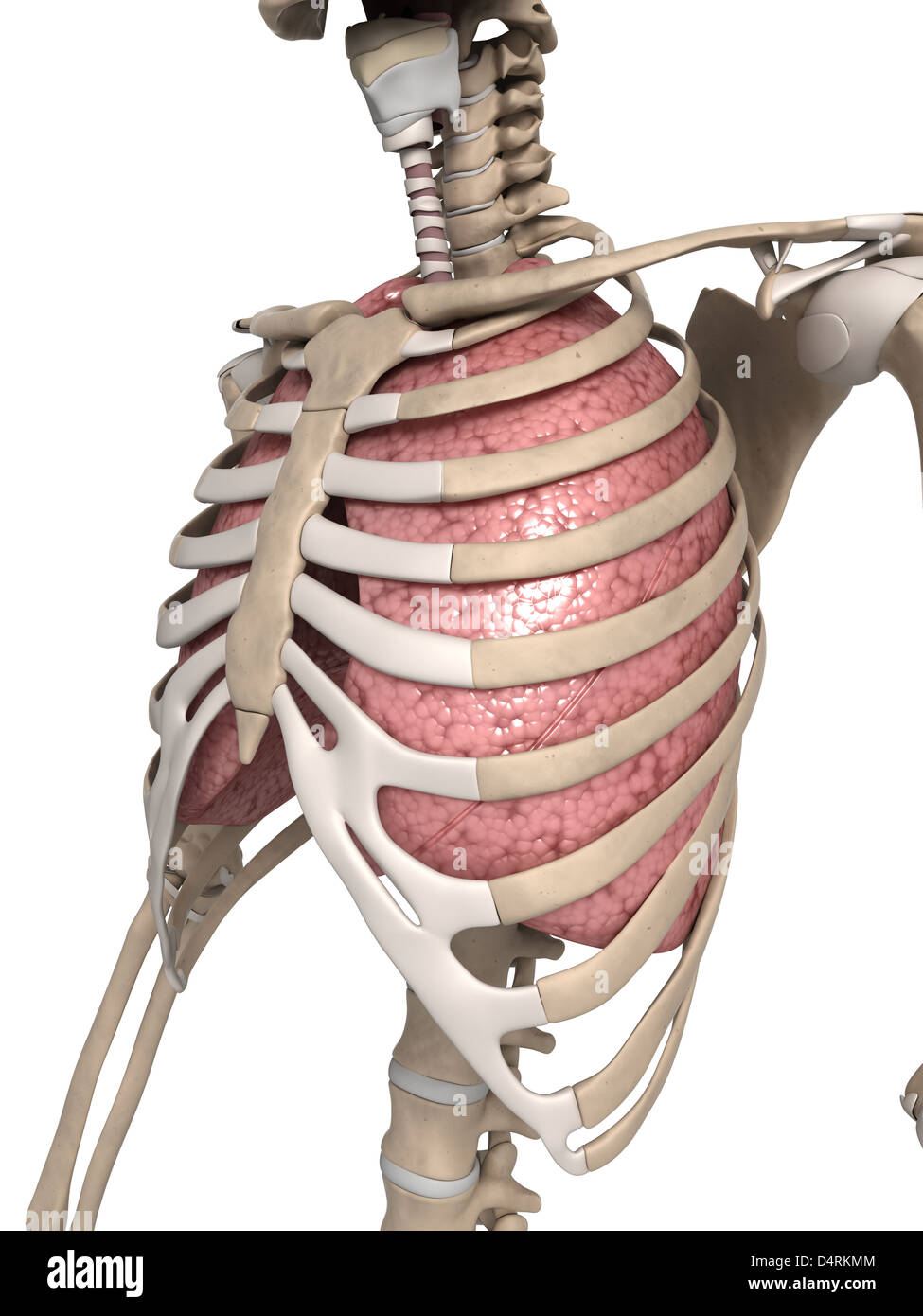 Anatomy of the lung and thorax Stock Photo: 54610100 - Alamy