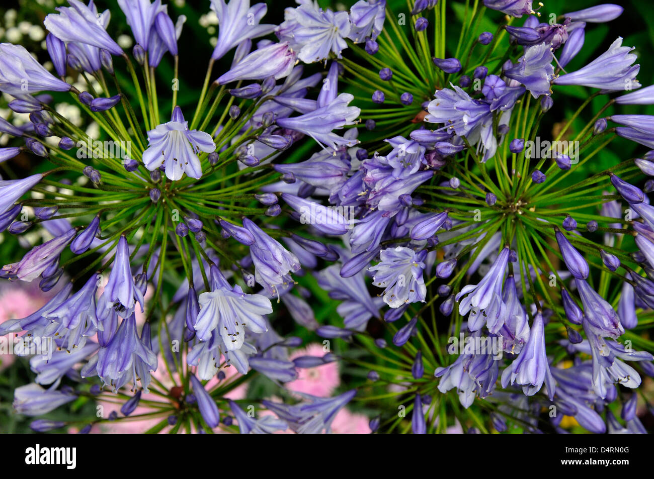 Agapanthus or African Lily. Dorset, UK August 2010 - Stock Image